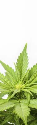 Cànnabis